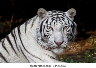 Menacing stare of a white bengal tiger.