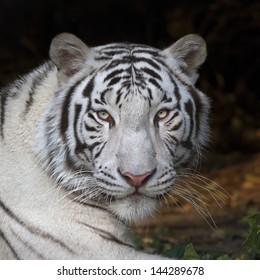 Menacing stare of a white bengal tiger, closeup portrait.
