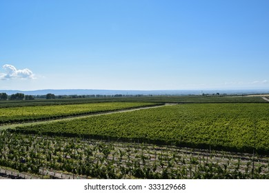 Mendoza, Argentina, March 4, 2015: Vines laden with fruit are ready for harvest in vineyards like this one in the Uco Valley, Mendoza Argentina's de facto winemaking capital.