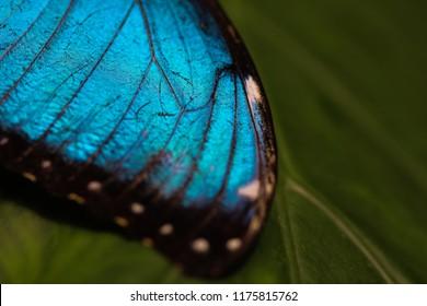 Menelaus blue morpho butterfly detail