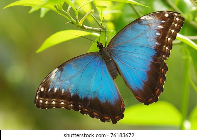 Menelaus Blue Morpho; iridescent; tropical; butterfly; Central; South; America; bug; insect; rain; forests; summer; spring