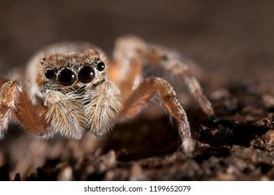 Menemerus semilimbatus female (Salticidae)