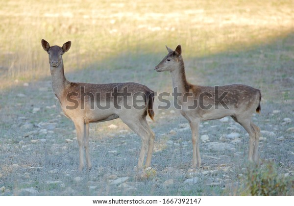 menil-color-fallow-deer-dama-600w-166739