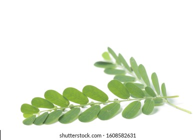 Meniran / Phyllanthus urinaria, one of herb that can use for herbal medicine. Shoot on an isolated white background.