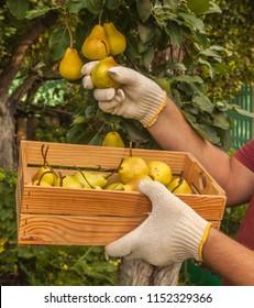 Men's hands harvest pears in a garden in summer