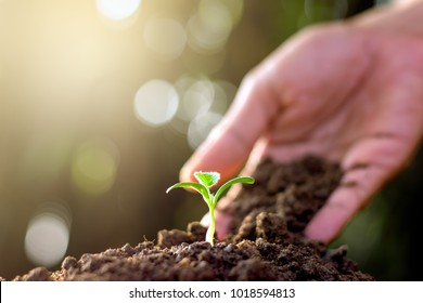 Men's hands are planting seedlings into fertile soil.