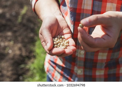 Men's hands with seeds of green beans. Agrarian with seeds of legumes in their hands, quality control of seeds.