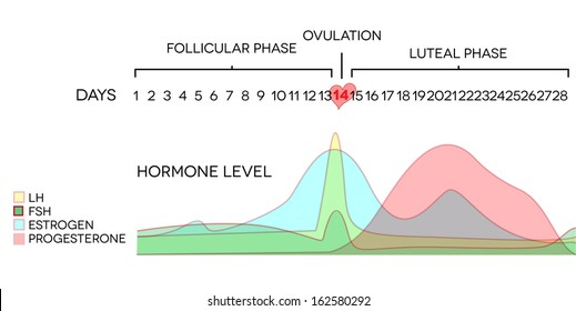 Menstrual cycle hormone level. Average menstrual cycle. Follicular phase, Ovulation, luteal phase.