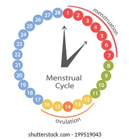 Menstrual cycle.IIlustration.