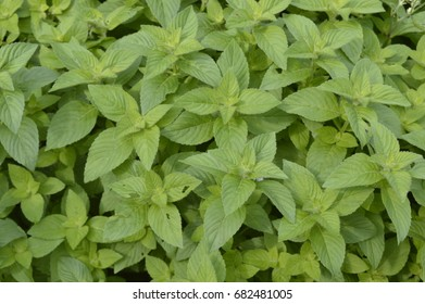 Mentha arvensis Banana - aromatic plant with vivid green color