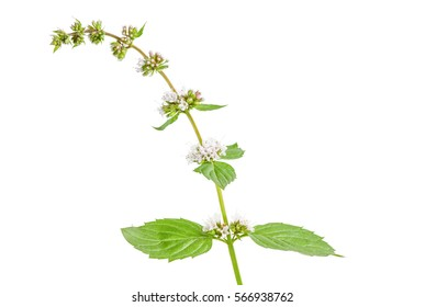 Mentha arvensis also known as field mint, wild mint or corn mint isolated on white background. Close up of stem Mentha arvensis