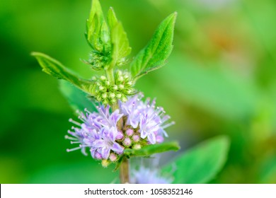 Mentha canadensis (Japanese mint, Corn mint, Field mint) ; single leaf, lanceolate shaped. The rectangular trunk, stretches to the ground. Purple Flowers bouquet at node or leaf axils. unique fragrant