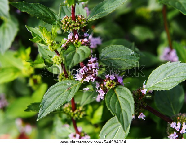 Mentha piperita 'Variegata' - menthe en pleine fleur