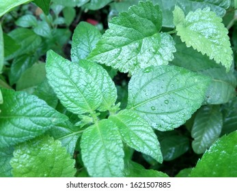 Mentha X Piperita, is a plant that is mostly grown in Europe used for medicinal purposes