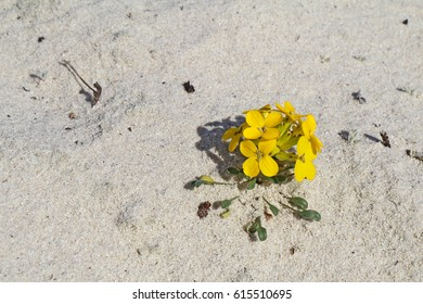 Menzie's wallflower (Erysimum menziesii), one of the rarest plants in the world, grows in pure sand at Asilomar Dunes Natural Preserve in Pacific Grove, California