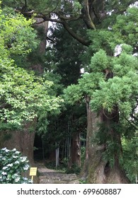 Meoto-Sugi; a pair of Japanese cedar trees at Kumano Kodo