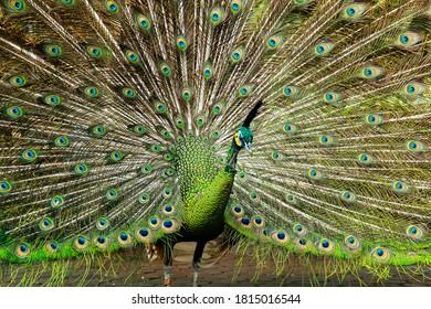 Burung Merak Images Stock Photos Vectors Shutterstock