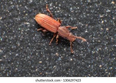 Merchant grain beetle in grey background view from top macro closeup Oryzaephilus mercator