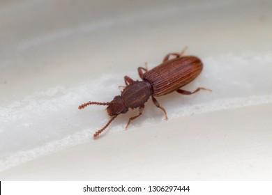 Merchant grain beetle in grey white view from top macro closeup Oryzaephilus mercator