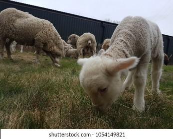 merino Romney marsh lambs