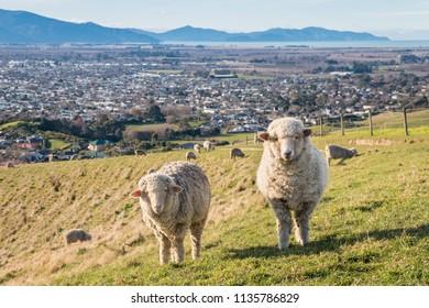merino sheep grazing above Blenheim town, South Island, New Zealand