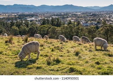 merino sheep grazing above Blenheim town in New Zealand