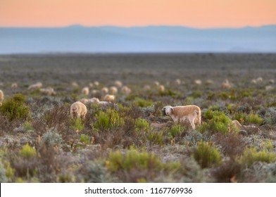 MERINO SHEEP  grazing the Namaqualand pasture in the rising sun, Calvinia,  South Africa