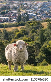 merino sheep grazing on grassy slope above Blenheim town, New Zealand