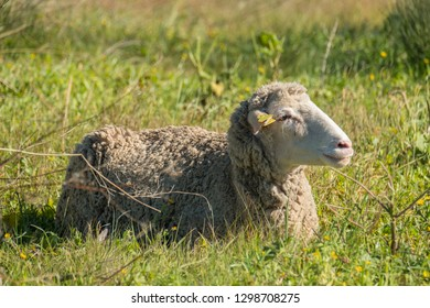 Merino sheep resting in the sun after grazing