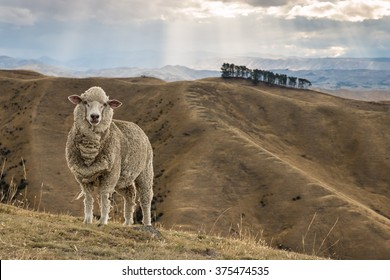 merino sheep standing on grassy hill
