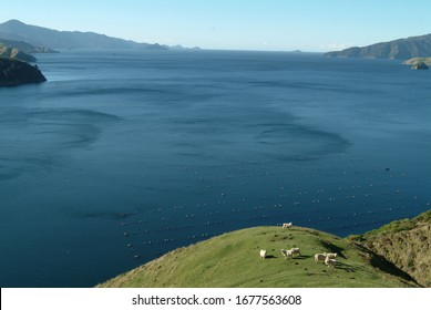 Merino sheeps and mussels farm on backdrop. New Zealand Merino and Mussel farming industry in the Marlborough. French Pass seascape. Pasture, green hills rolling. Nice coastal walks and biking tracks