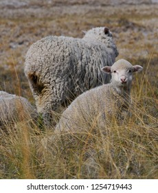 Merino sheeps in the steppe of the inland of Peninsula Valdes, Patagonia Argentina.