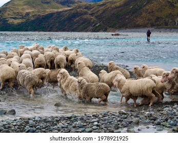 Merino wethers crossing the Rakaia River during the Spring Muster, South Island of New Zealand - Shutterstock ID 1978921925