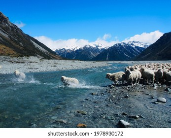 Merino wethers crossing the river during the Spring Muster at Lake Heron Station, South Island of New Zealand    - Shutterstock ID 1978930172