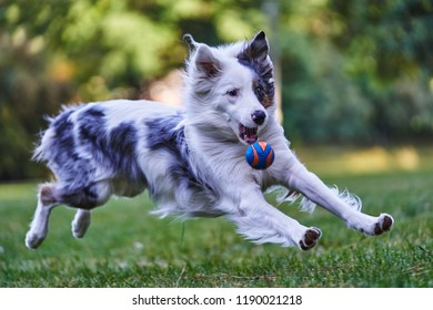Dog Catching Tennis Ball Images Stock Photos Vectors