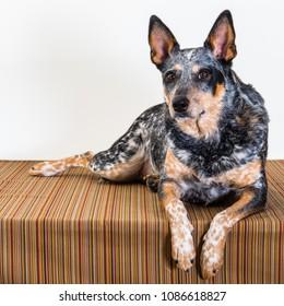 Merle colored Blue Heeler Dog