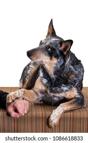 Merle colored Blue Heeler Dog shaking paw and looking intently at owner