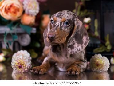 merle Dachshund dog portrait