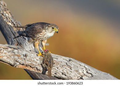 A Merlin aka Ladyhawk with its fresh caught meal of the day - a sparrow.