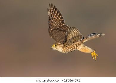 A Merlin aka Ladyhawk launching from a perch.