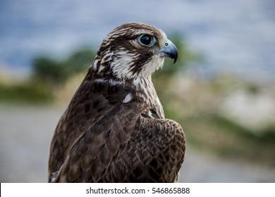 Merlin bird close up in Malta, Europe