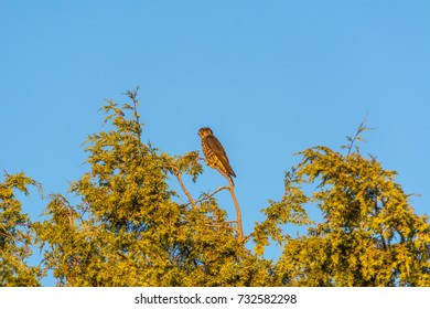 Merlin (Falco columbarius) perched in a tree photographed against a blue sky from the Padilla Bay Shore Trail, Skagit County, WA. The bird has a leg band on its left leg with initials SC on it.