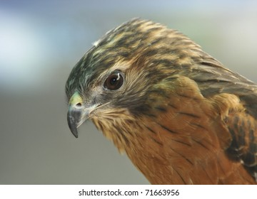 The Merlin (Falco columbarius) is a small type of falcon from the Northern Hemisphere
