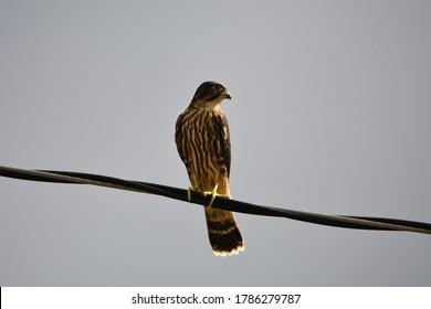 Merlin Falcon bird of prey perched