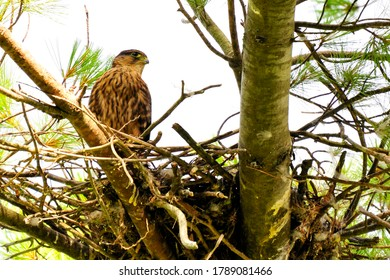 A merlin falcon perched in its stick nest