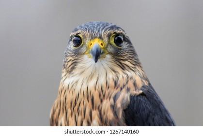 Merlin Falcon Portait