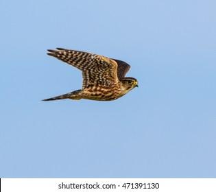 Merlin in Flight on Blue Sky