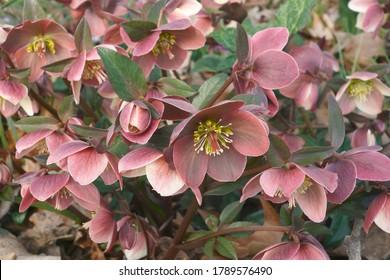 Merlin Lenten rose (Helleborus 'Coseh 810'). Known as Helleborus x ballardiae HGC Merlin also