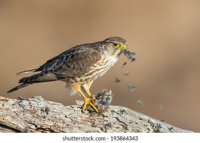 A Merlin prepping its meal before breakfast.