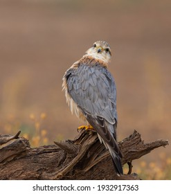 The merlin is a small species of falcon from the Northern Hemisphere, with numerous subspecies throughout North America and Eurasia.